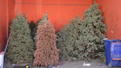 Photo of En Corregidora recolectarán árboles navideños del 13 al 24 de enero