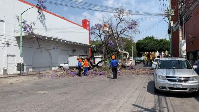 Photo of Cae jacaranda y daña vehículos en el centro de la ciudad